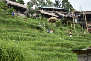 Rice_Fields_Of_Bali